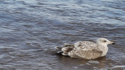 sea seagull goes on waves Stock Video Footage