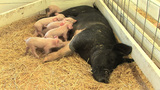 Suckling Piglets stock footage