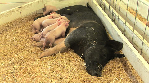 Suckling Piglets Stock Video Footage