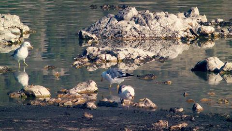 Seagulls Eating at Mono Lake Stock Video Footage