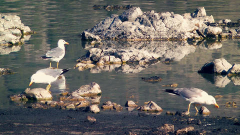 Seagulls Eating at Mono Lake Stock Video Footage