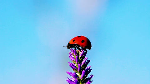 ladybird and violet ears - macro Stock Video Footage