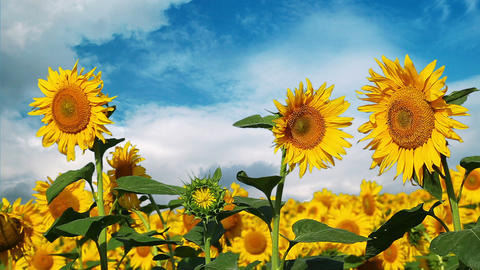 flowering sunflowers on a background cloudy sky Footage