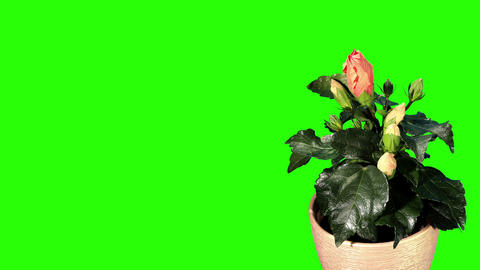 Blooming orange Hibiscus flower buds green screen Stock Video Footage