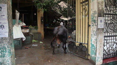 Cow walk on the market Stock Video Footage