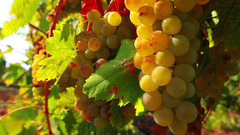 grapes on the vine Stock Video Footage
