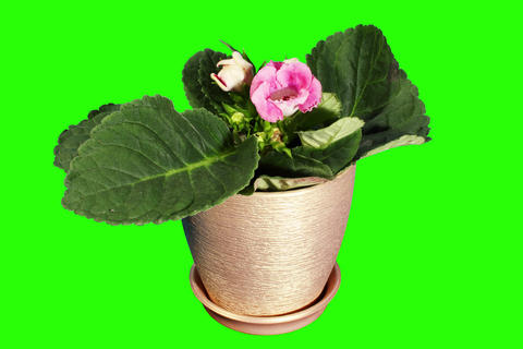 4K. Growth of Gloxinia flower buds green screen, F Footage