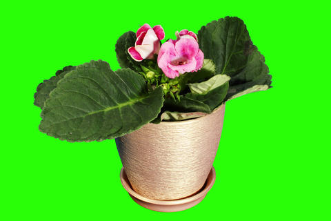 4K. Growth of Gloxinia flower buds green screen, F Stock Video Footage
