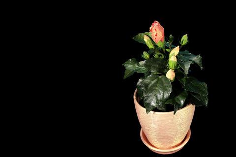 4K. Blooming orange Hibiscus flower buds ALPHA mat Stock Video Footage