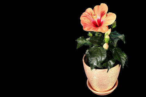 4K. Blooming orange Hibiscus flower buds ALPHA mat Footage