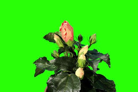 4K. Blooming orange Hibiscus flower buds green scr Stock Video Footage