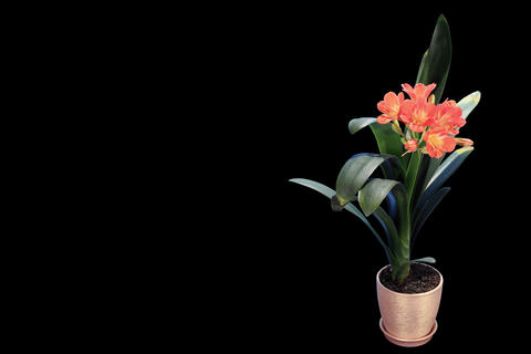 4K. Growth of Clivia flower buds ALPHA matte, FULL Stock Video Footage