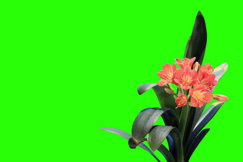4K. Growth of Clivia flower buds green screen, FUL Live Action