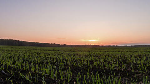 Sprouts at sunset. Ground. Time Lapse Footage