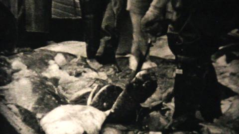 Fresh Catch Of Alaskan Halibut 1940 Vintage 8mm Stock Video Footage