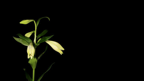 White lily on the black background (longiflorum. W Stock Video Footage