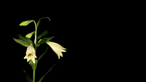 White lily on the black background (longiflorum. W Footage