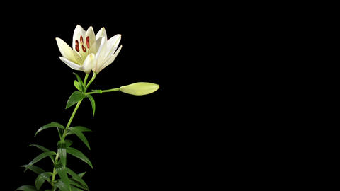 Blooming white lily on the black background (Liliu Footage