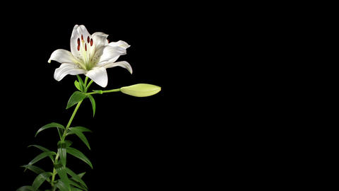 Blooming white lily on the black background (Liliu Stock Video Footage