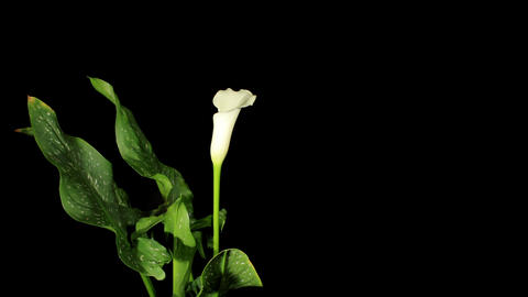Blooming white calla on the black background (Call Footage