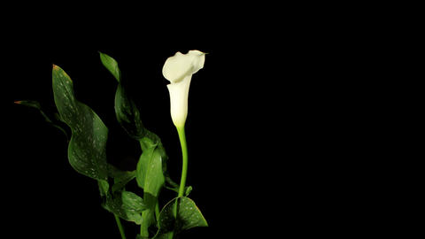Blooming white calla on the black background (Call Stock Video Footage