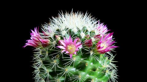 Time-lapse Opening pink Mammillaria (Mammillaria b Footage