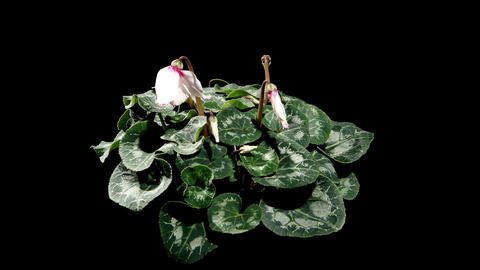 Flowering white cyclamen on the black background ( Stock Video Footage