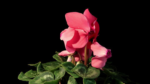 Flowering pink cyclamen on the black background Stock Video Footage