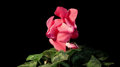 Flowering pink cyclamen on the black background Live Action