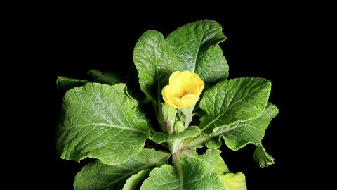 Flowering yellow primula on the black background ( Footage