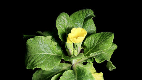 Flowering yellow primula on the black background ( Stock Video Footage