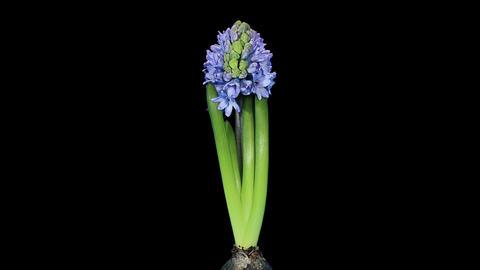 Time-lapse opening hyacinth flower buds ALPHA matt Stock Video Footage
