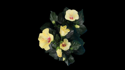 Blooming yellow Hibiscus flower buds ALPHA matte Footage