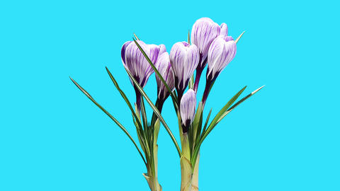 Growth of violet crocuses flower buds ALPHA matte Stock Video Footage