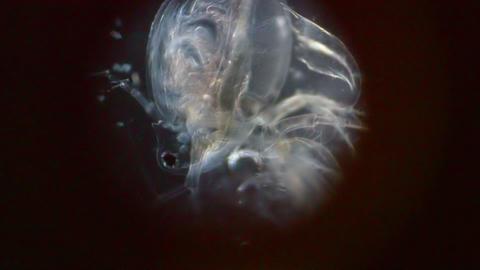 Crustacean in Microscope Stock Video Footage
