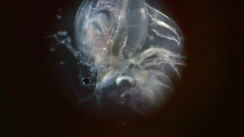 Crustacean in Microscope Footage