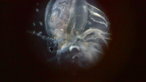 Crustacean in Microscope Stock Video Footage