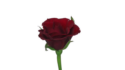 "Rotating ""Valentino"" rose isolated on white endless loop 2 Footage"