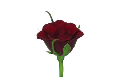 "Rotating ""Valentino"" rose isolated on white endless loop 2 Stock Video Footage"