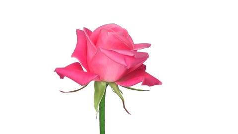 "Rotating ""Saphir"" rose isolated on white endless loop 2 Stock Video Footage"