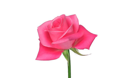"""Rotating """"Saphir"""" rose isolated on white endless loop 2 Stock Video Footage"""