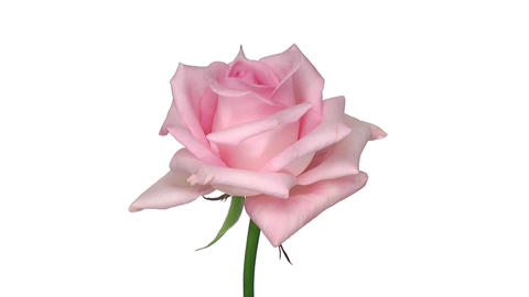 """Rotating """"Sweet Akito"""" rose isolated on white endless loop 2 Stock Video Footage"""