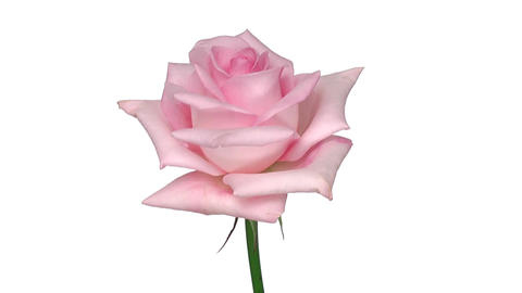 "Rotating ""Sweet Akito"" rose isolated on white endless loop 2 Stock Video Footage"