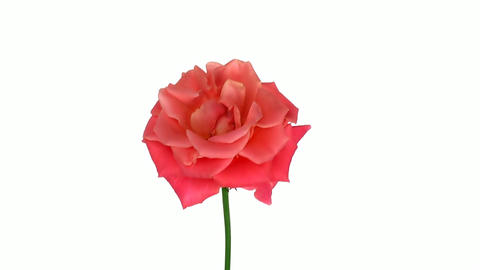 "Rotating ""Indian Femma"" rose isolated on white endless... Stock Video Footage"
