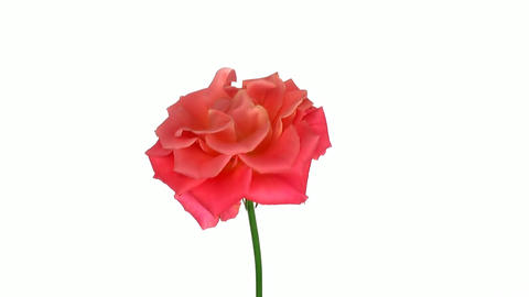 """Rotating """"Indian Femma"""" rose isolated on white endless... Stock Video Footage"""