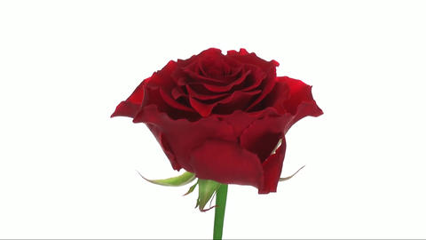 """Rotating """"Escada"""" rose isolated on white endless loop 1 Stock Video Footage"""