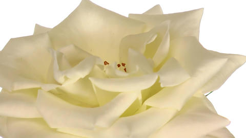 """Rotating """"Escimo"""" rose isolated on white endless loop 2 Stock Video Footage"""