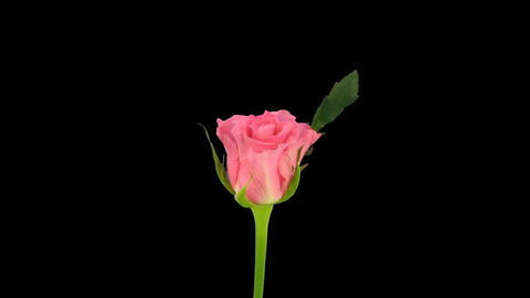 "Time-lapse of opening ""Ballet"" rose with alpha matte 3 Stock Video Footage"