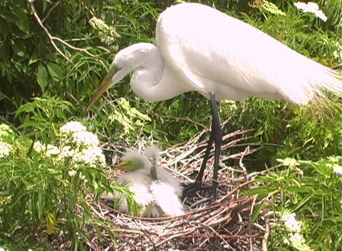 Florida Egrets-1 stock footage