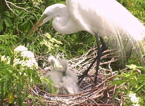 Florida Egrets-1 Stock Video Footage